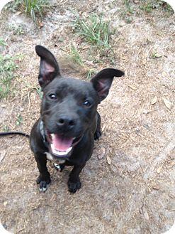 Staffordshire Bull Terrier/American Pit Bull Terrier Mix Dog for adoption in Groveland, Florida - Negra