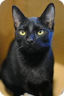 Domestic Shorthair Cat for adoption in Aiken, South Carolina - Carmen