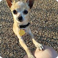 Adopt A Pet :: Jewel - Goodyear, AZ