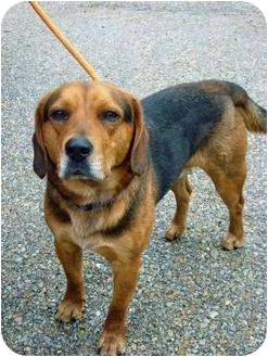 Beagle Mix Dog for adoption in Metamora, Indiana - Wess
