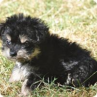Adopt A Pet :: Dora - Tumwater, WA