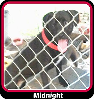 Labrador Retriever Mix Dog for adoption in Malvern, Arkansas - MIDNIGHT