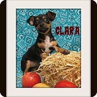 Dachshund/Chihuahua Mix Puppy for adoption in Tracy, California - CLARA