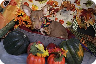 Chihuahua Mix Puppy for adoption in San Antonio, Texas - Lefty