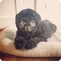 Adopt A Pet :: ZsaZsa Gabork - Los Angeles, CA