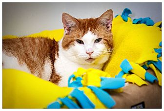 Domestic Shorthair Cat for adoption in Middletown, New York - Fennel