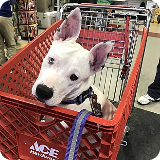 American Staffordshire Terrier/Terrier (Unknown Type, Medium) Mix Dog for adoption in Anderson, South Carolina - Lilith - DEAF