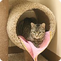 Domestic Shorthair Cat for adoption in Staunton, Virginia - Ace Dijon