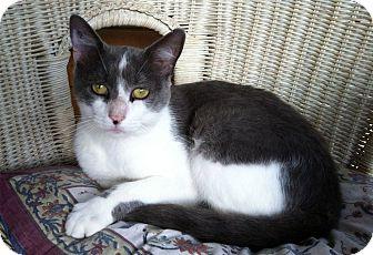 Domestic Shorthair Cat for adoption in Bear, Delaware - Max