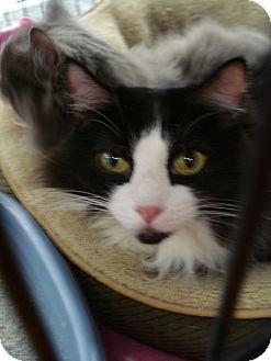 Domestic Longhair Cat for adoption in Monrovia, California - Charlie