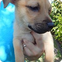 Adopt A Pet :: Chief - Miami, FL
