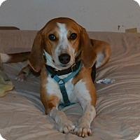 Adopt A Pet :: Dolly - Bakersville, NC