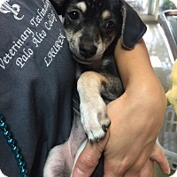 Adopt A Pet :: Libby - Fair Oaks Ranch, TX