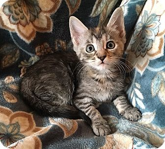 Domestic Shorthair Kitten for adoption in Tampa, Florida - Sydney
