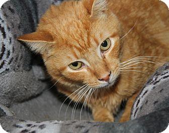 Domestic Shorthair Cat for adoption in Marietta, Ohio - Cuddles (Neutered)