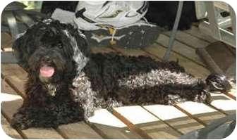 Lhasa Apso/Poodle (Standard) Mix Dog for adoption in Portland, Oregon - Onyx