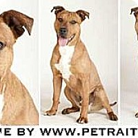 Adopt A Pet :: Brownie - Chicago, IL