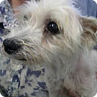 Adopt A Pet :: Sweetie - Chicago, IL
