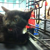 Domestic Shorthair Kitten for adoption in Pittstown, New Jersey - Simon