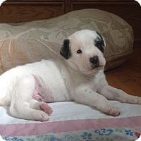 Adopt A Pet :: Gru - Denver, CO