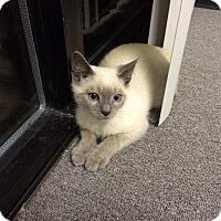 Adopt A Pet :: Simon - Lawrenceville, GA