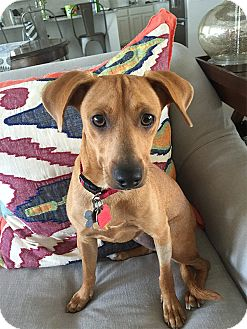 Dachshund/Whippet Mix Dog for adoption in West Hartford, Connecticut - Bea