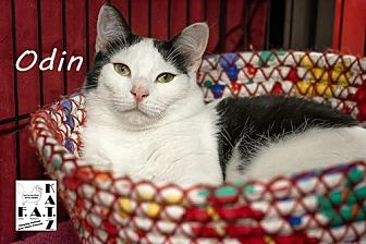 Domestic Shorthair Cat for adoption in Albuquerque, New Mexico - Odin