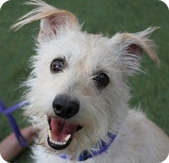 Terrier (Unknown Type, Small) Mix Dog for adoption in Las Vegas, Nevada - Basil