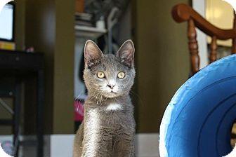 Domestic Shorthair Kitten for adoption in Rochester Hills, Michigan - Doli