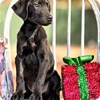 Adopt A Pet :: Sherlock ~ DOB 9/13/16! - Saratoga Springs, NY