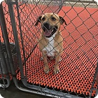 Labrador Retriever Mix Dog for adoption in Rockville, Maryland - Casanova