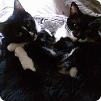 Domestic Shorthair Cat for adoption in Walnut Creek, California - Vince & Chubby