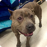 Adopt A Pet :: Gemma in CT - Manchester, CT