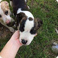 Adopt A Pet :: Tillie - Ellaville, GA