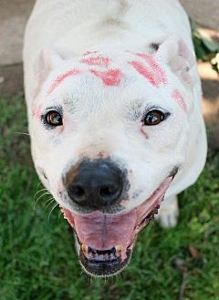 Pit Bull Terrier Dog for adoption in Memphis, Tennessee - Chip