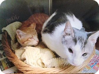 Domestic Shorthair Cat for adoption in Deerfield Beach, Florida - Moxie & Wink