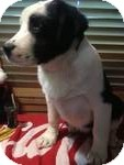 Great Pyrenees/Collie Mix Puppy for adoption in Manchester, Connecticut - Titus ADOPTION PENDING