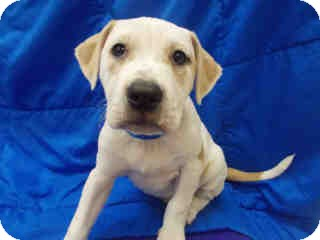 American Bulldog Mix Puppy for adoption in Antioch, Illinois - Suzanna ADOPTED!!