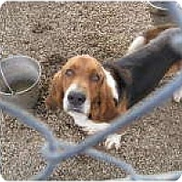 Basset Hound Dog for adoption in Acton, California - Fred