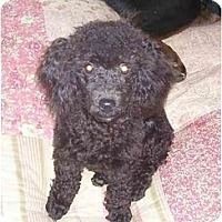 Adopt A Pet :: Shadow - Chandler, IN