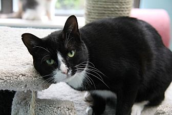 Domestic Shorthair Cat for adoption in Forked River, New Jersey - Meridia