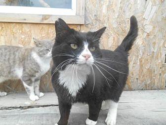 Domestic Mediumhair Cat for adoption in Zaleski, Ohio - tux