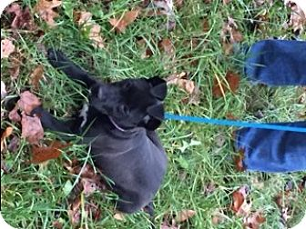 Labrador Retriever/Pit Bull Terrier Mix Puppy for adoption in Stafford, Virginia - Rissa