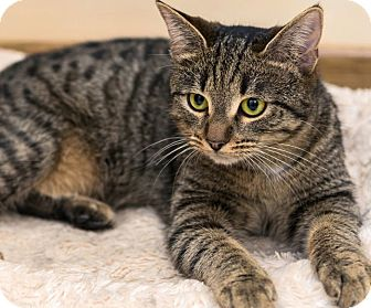Domestic Shorthair Cat for adoption in Louisville, Kentucky - Emerald