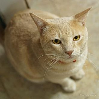 bengal cat kitten