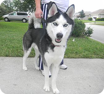 Siberian Husky Dog for adoption in Jacksonville, Florida - Max