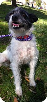 Terrier (Unknown Type, Small) Mix Dog for adoption in Irvine, California - TESSA