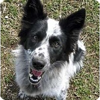 Adopt A Pet :: Pippin - Glenrock, WY