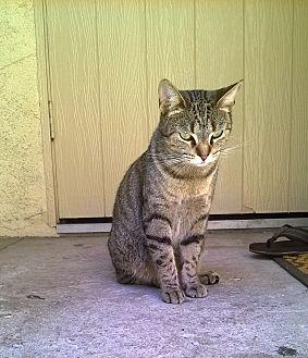 American Shorthair Cat for adoption in Bellflower, California - Desi