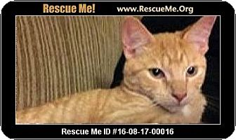 Domestic Shorthair Cat for adoption in Waldorf, Maryland - Garfield